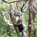 Koala sull'albero in Australia