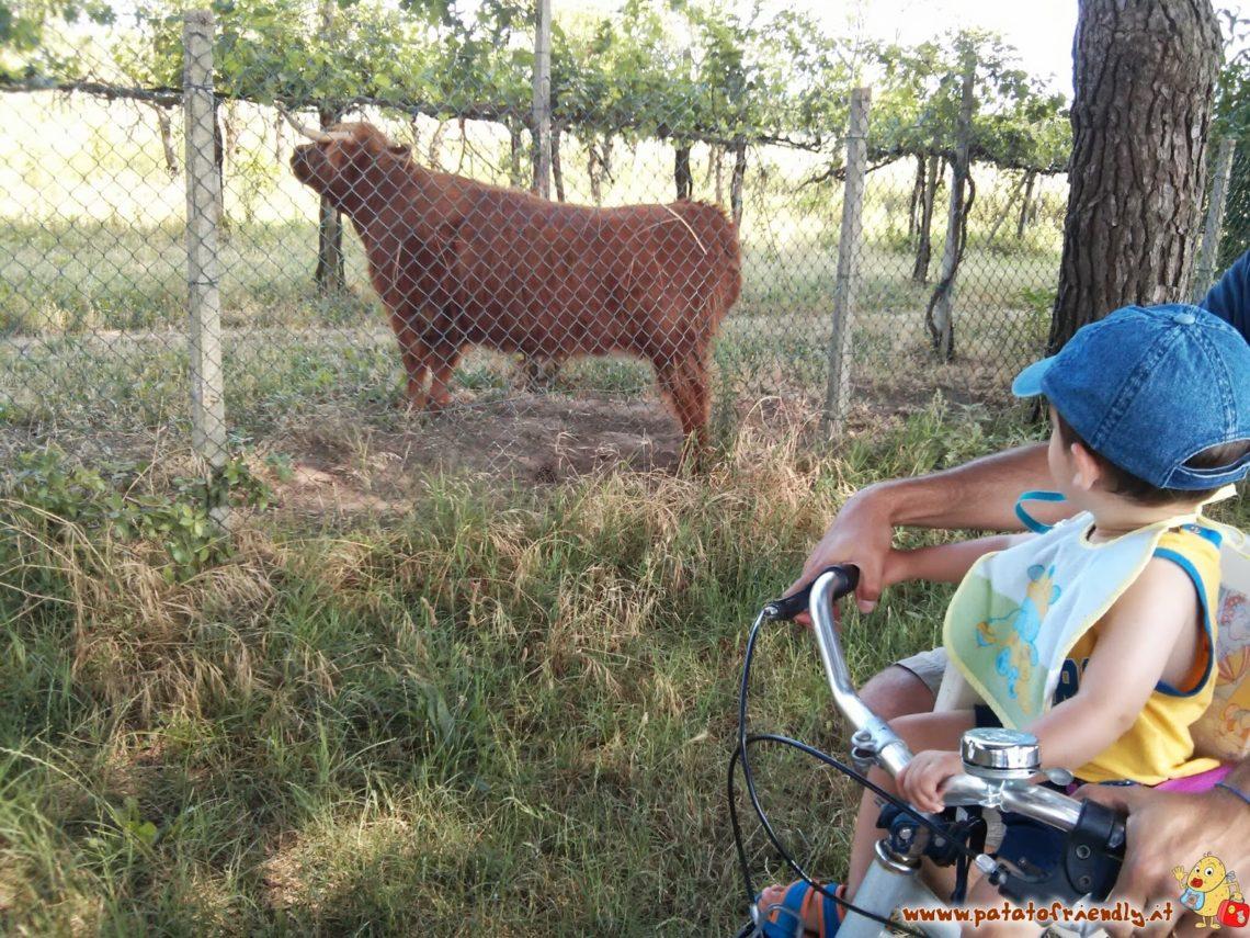 Il Patato incuriosito dalle mucche