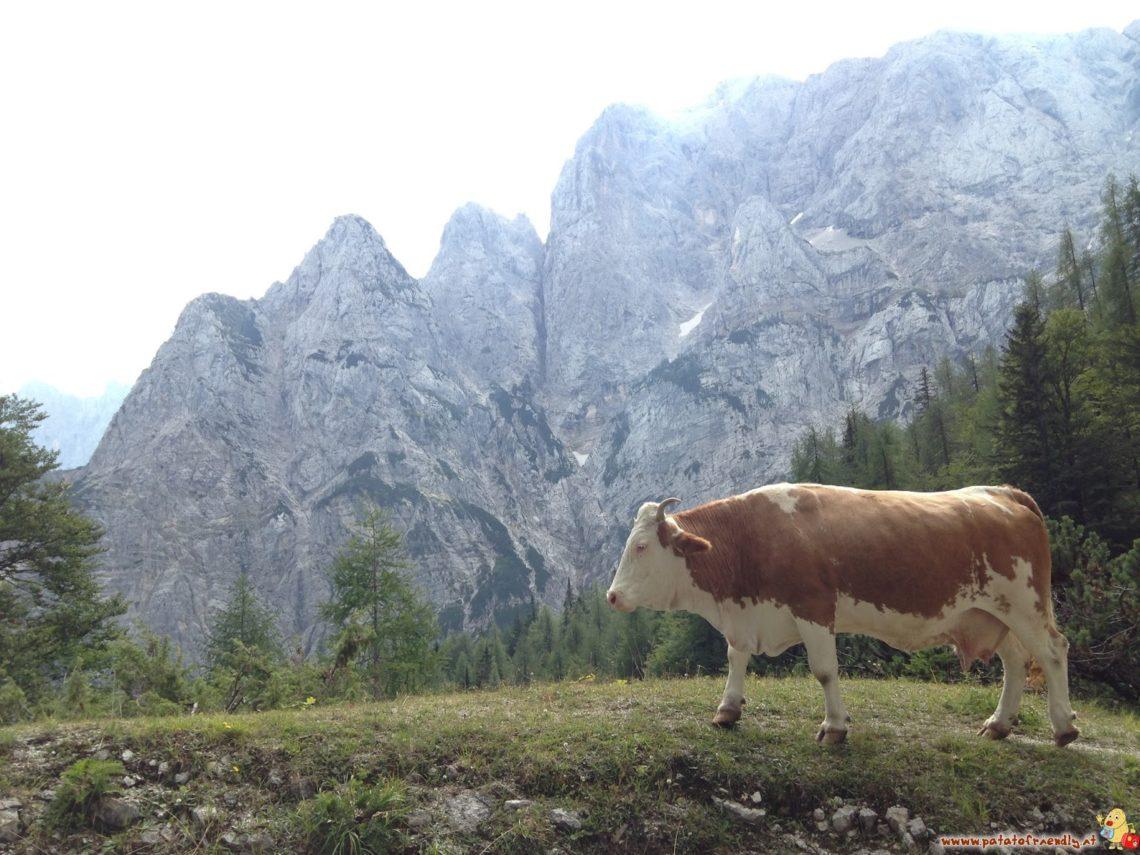 Mucche da alpinismo