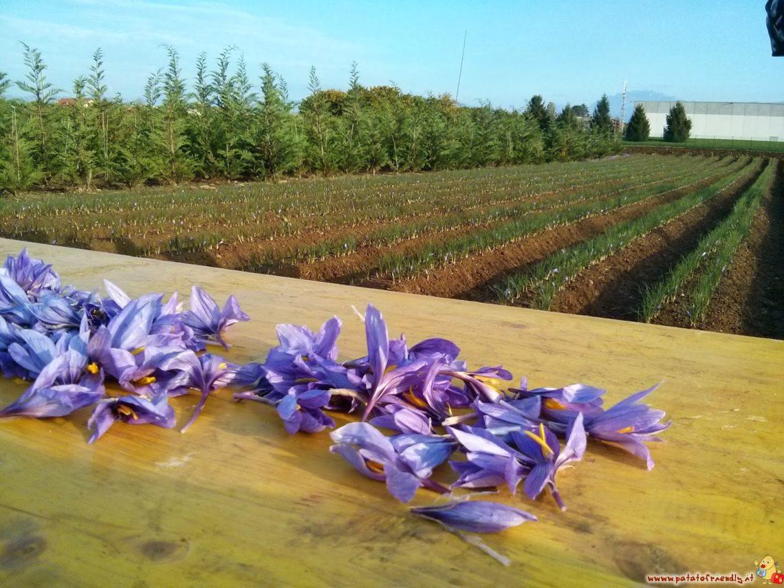 [cml_media_alt id='4818']I fiori dello zafferano[/cml_media_alt]