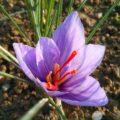 I fiori dello zafferano padano