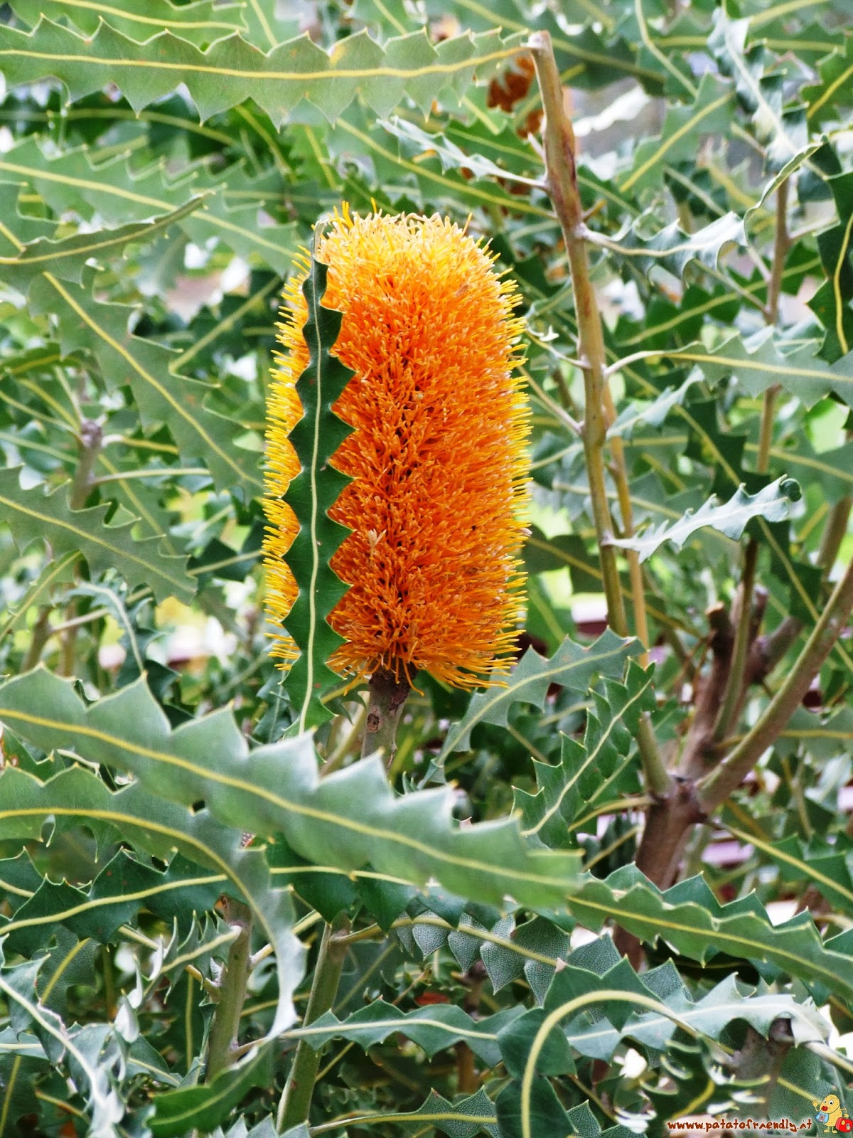 Immagini Di Piante E Alberi piante, fiori e alberi australiani caratteristici