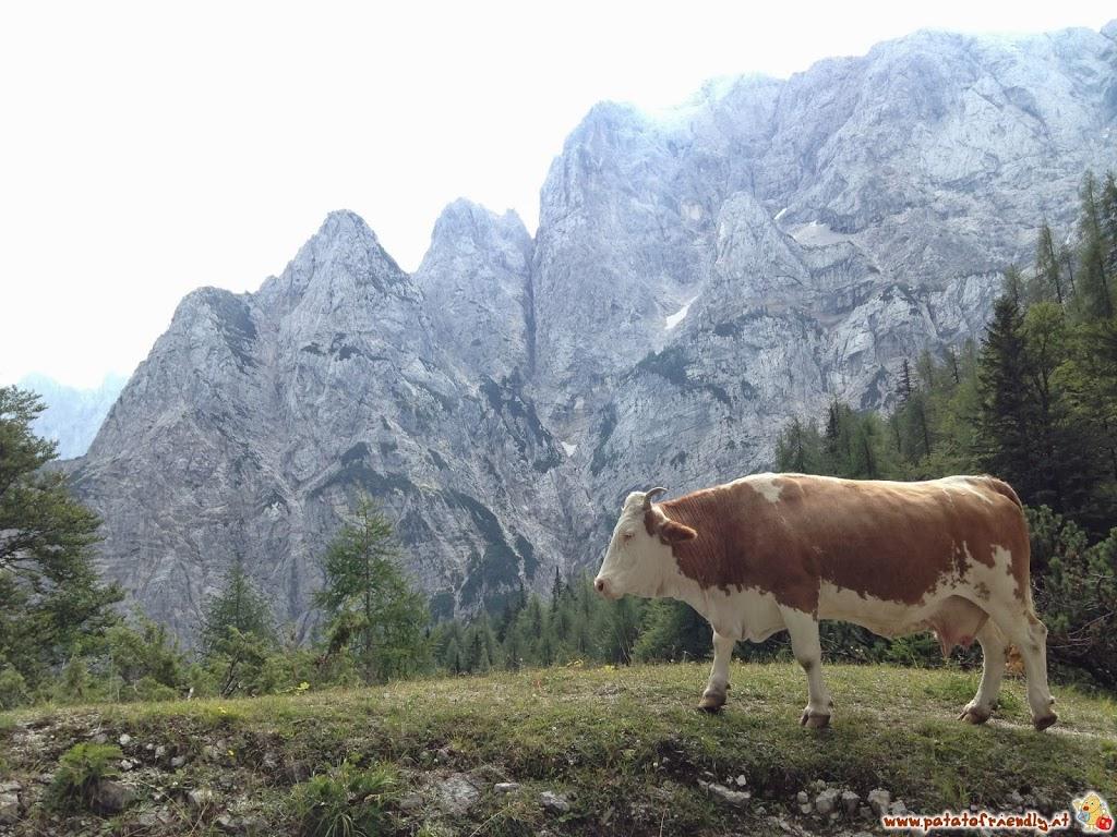 Slovenia - chi è l'invasore della strada, noi o la mucca?