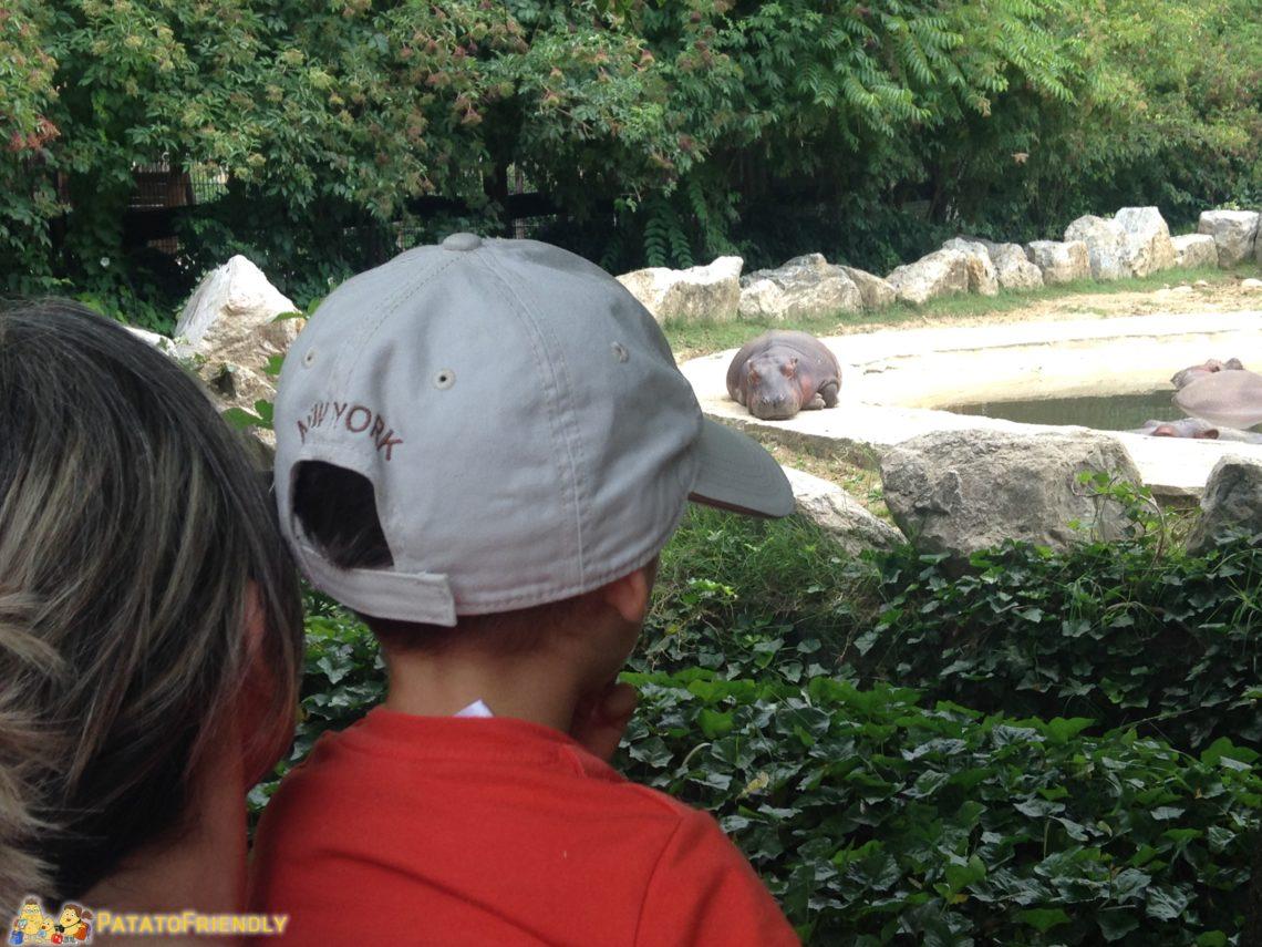 Gli ippopotami a Le Cornelle