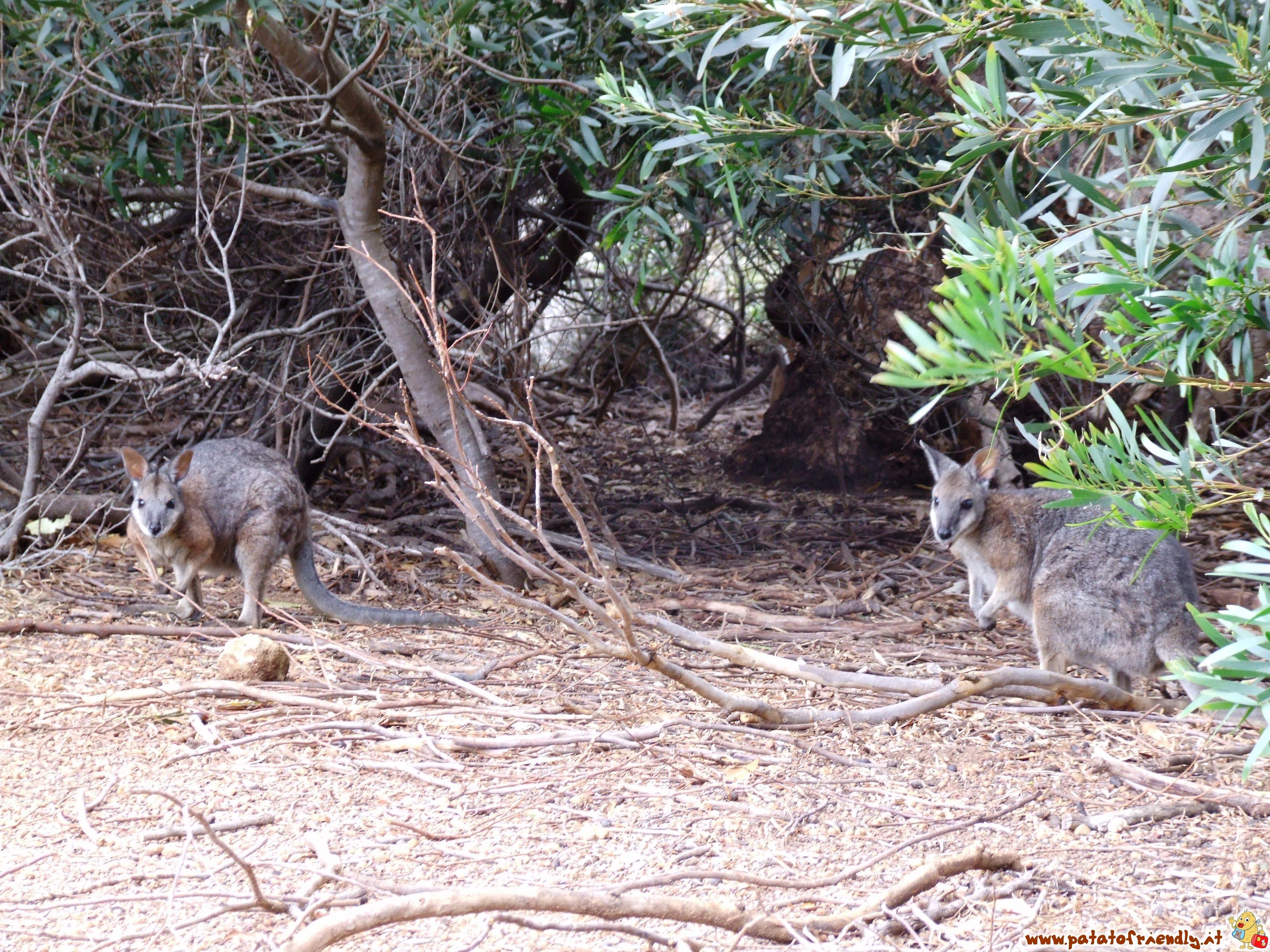 Wallaby a Kangaroo Island