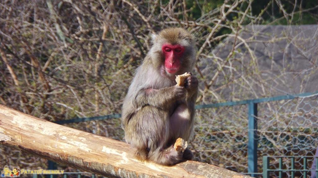 [cml_media_alt id='5487']Il Bioparco di Roma - Il Macaco del Giappone[/cml_media_alt]