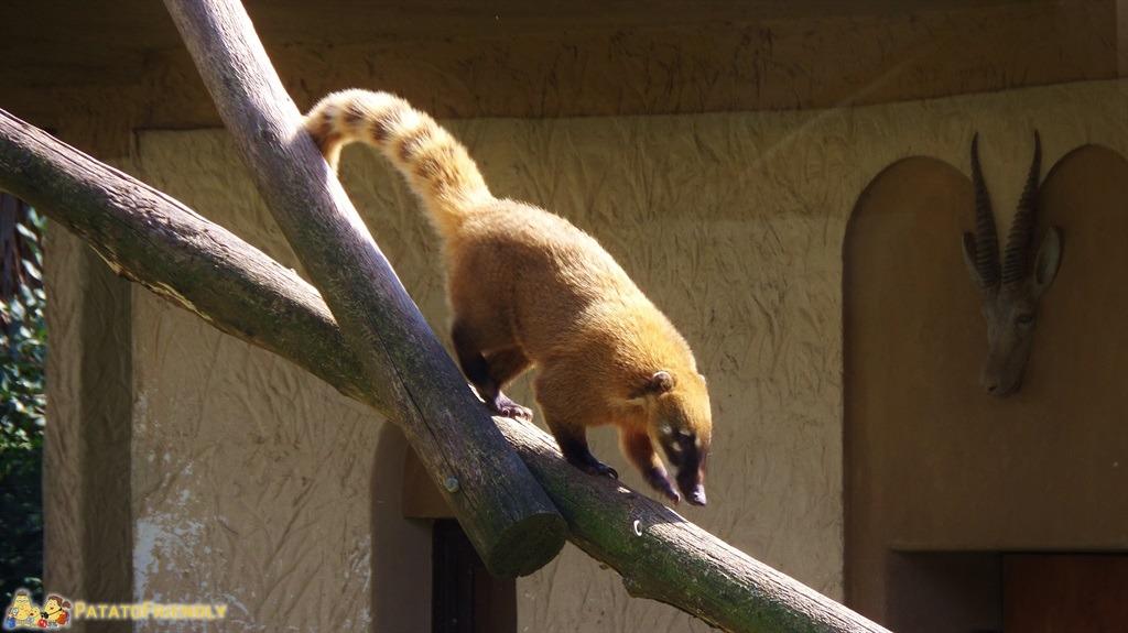 [cml_media_alt id='5493']Il Bioparco di Roma - Un esemplare di Coati Rosso che popola le foreste tropicali del Sud America[/cml_media_alt]