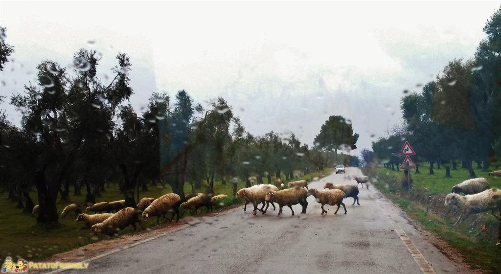 """[cml_media_alt id='5622']Vico del Gargano - Avvistamenti (nel caso delle pecore """"ingorghi"""") per niente insoliti da queste parti[/cml_media_alt]"""