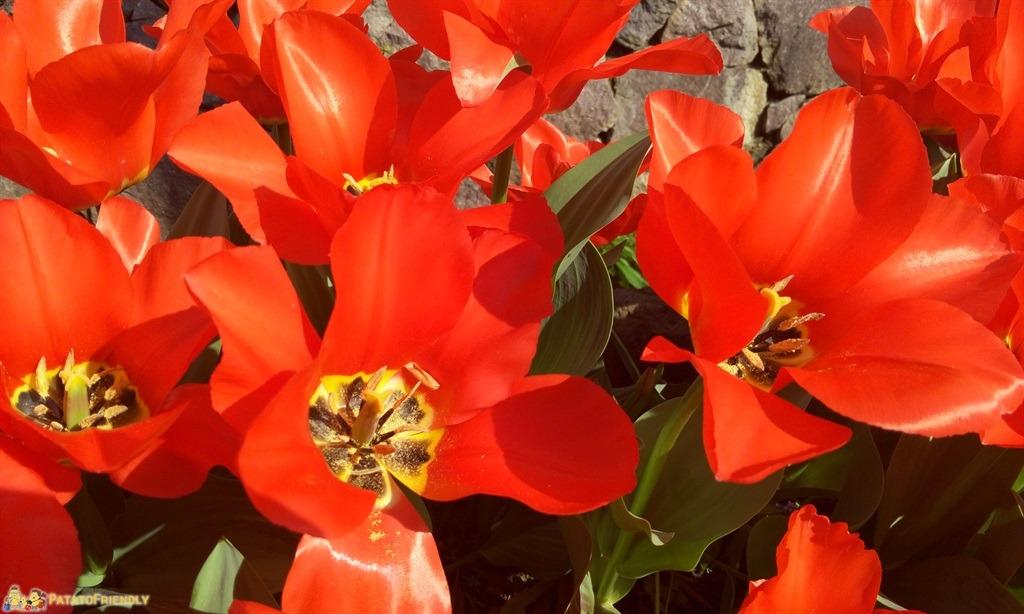 [cml_media_alt id='5722']Castel Trauttmansdorff a Merano - Gli splendidi tulipani rossi esclusiva dei giardini[/cml_media_alt]