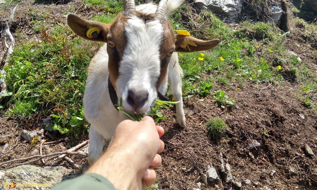 [cml_media_alt id='5881']Alta Val Pusteria - Le immancabili caprette[/cml_media_alt]