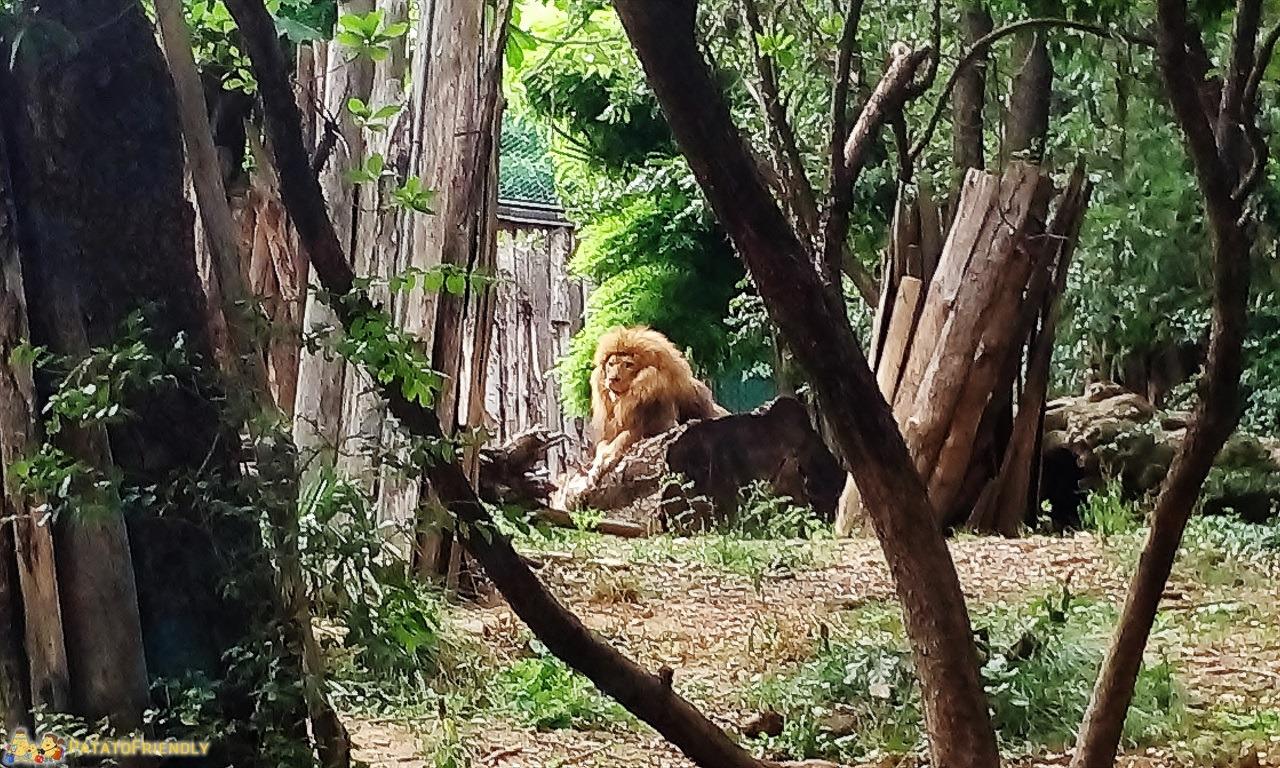 [cml_media_alt id='6014']Lo zoo di pistoia - Il Re della foresta, sua Maestà il Leone[/cml_media_alt]