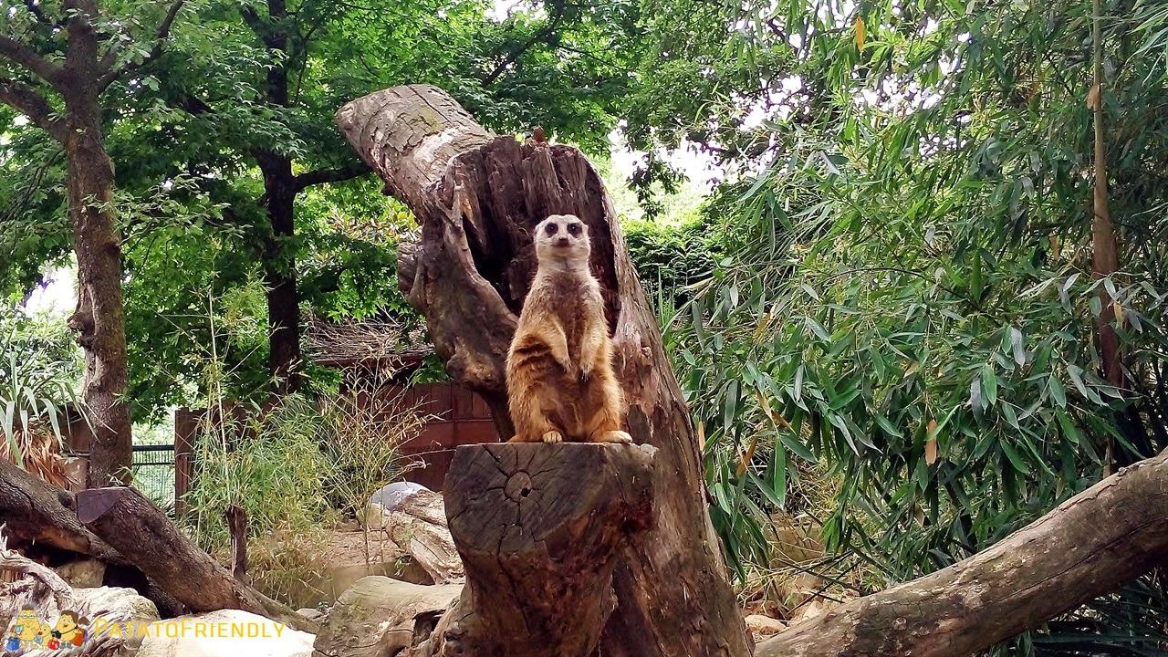 [cml_media_alt id='6015']Lo zoo di pistoia - Il Suricati sentinella[/cml_media_alt]