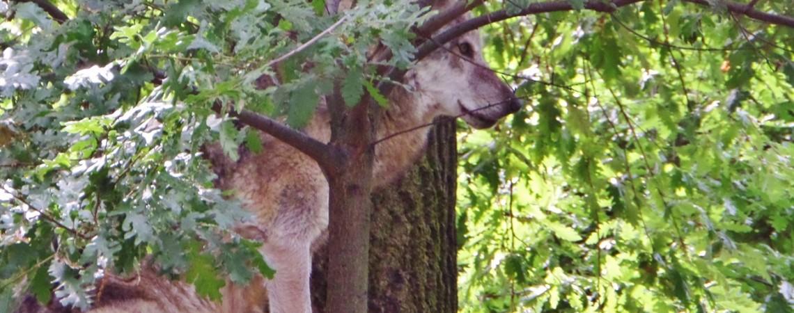 Lo zoo di pistoia - Il lupo