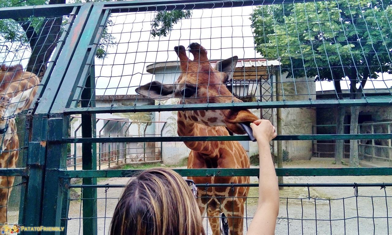 [cml_media_alt id='6019']Lo zoo di pistoia - Una giraffa affamata[/cml_media_alt]