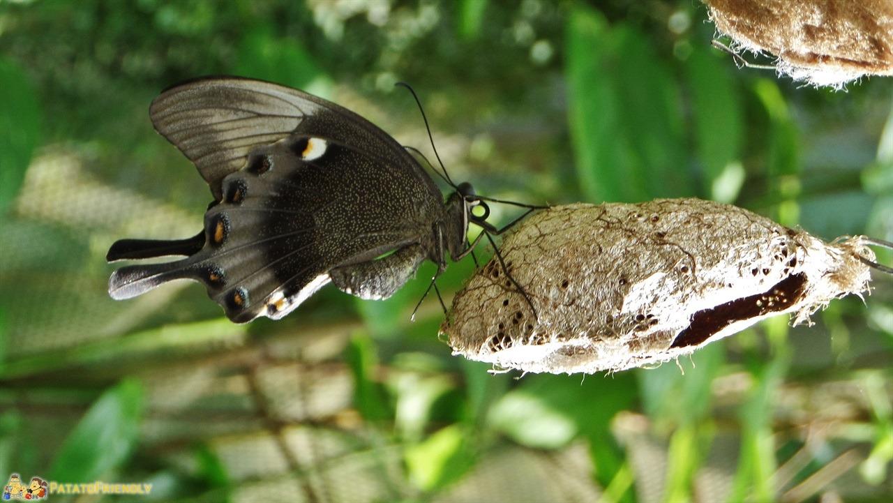 [cml_media_alt id='5990']I Giardini di Villa Garzoni - Una delle farfalle ospitata nei giardini[/cml_media_alt]