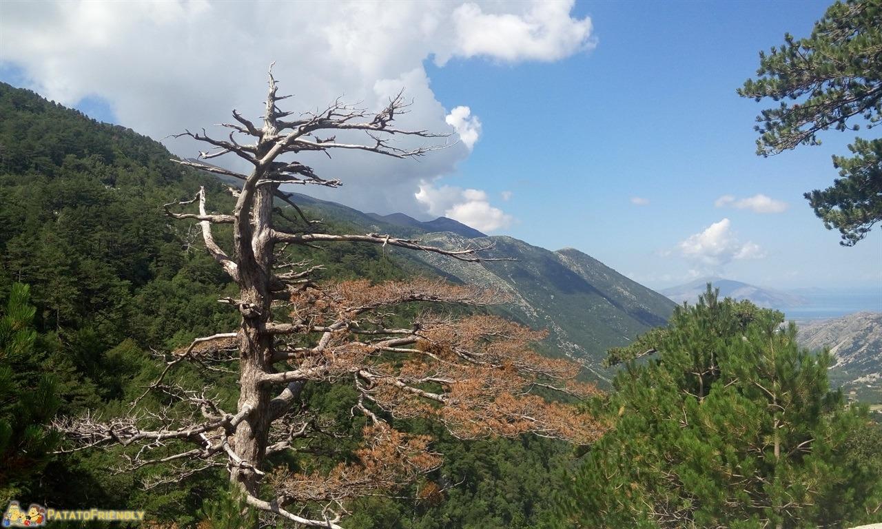 Viaggio in Albania - Lo scheletro di un Pino Bandiera al passo di Llogara