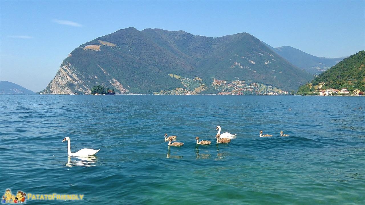 Cosa vedere sul lago d'Iseo - visitare Montisola - Cigni