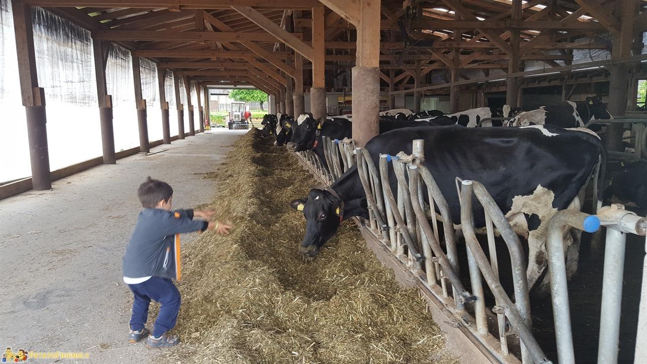 [cml_media_alt id='7740']Cosa fare in Bela Krajina - Il patato dà da mangiare ale mucche della Fattoria Kmetija Strucelj[/cml_media_alt]