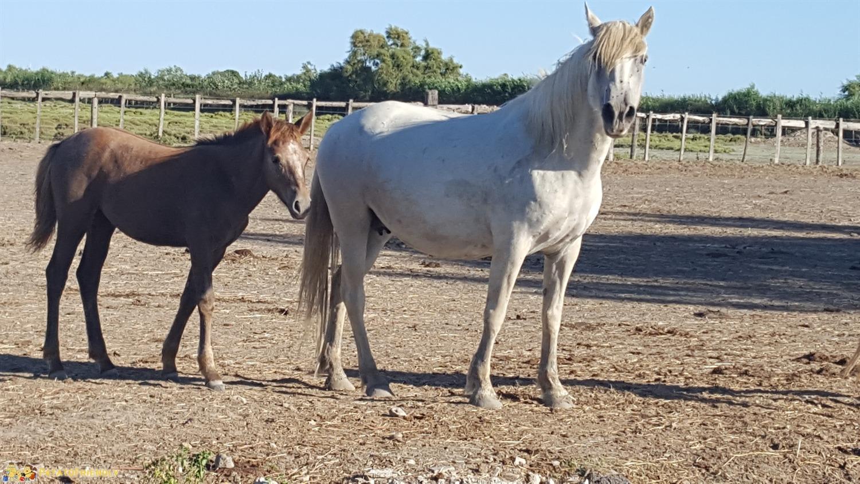 Da vedere in Camargue - I cavalli bianchi della Camargue