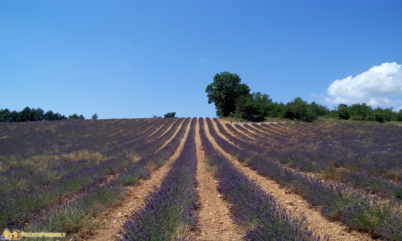 45 giorni on the road nel Sud della Francia - I campi di lavanda della Provenza