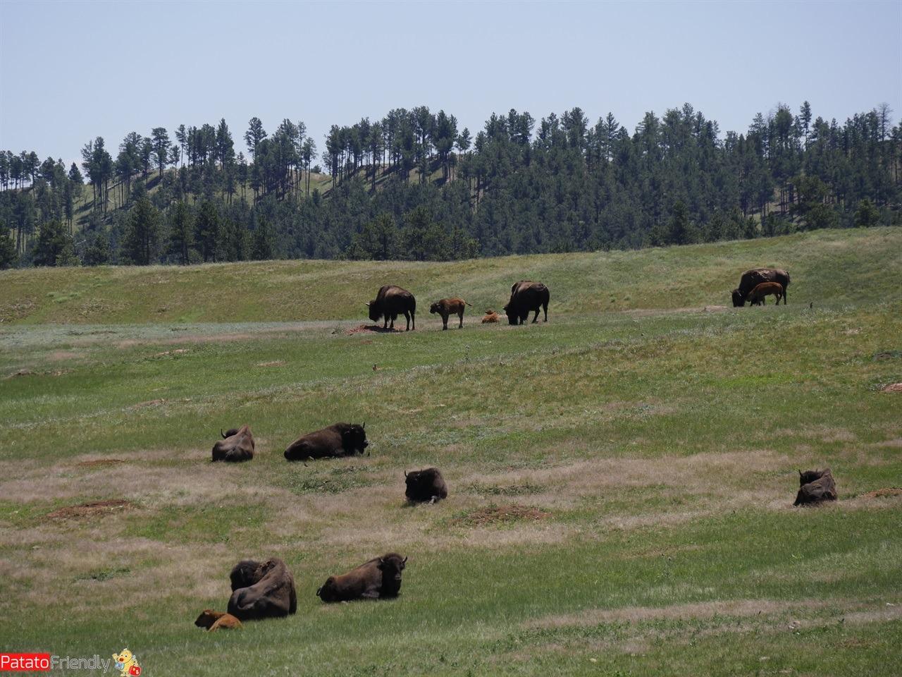 viaggio in South Dakota vedere i bufali