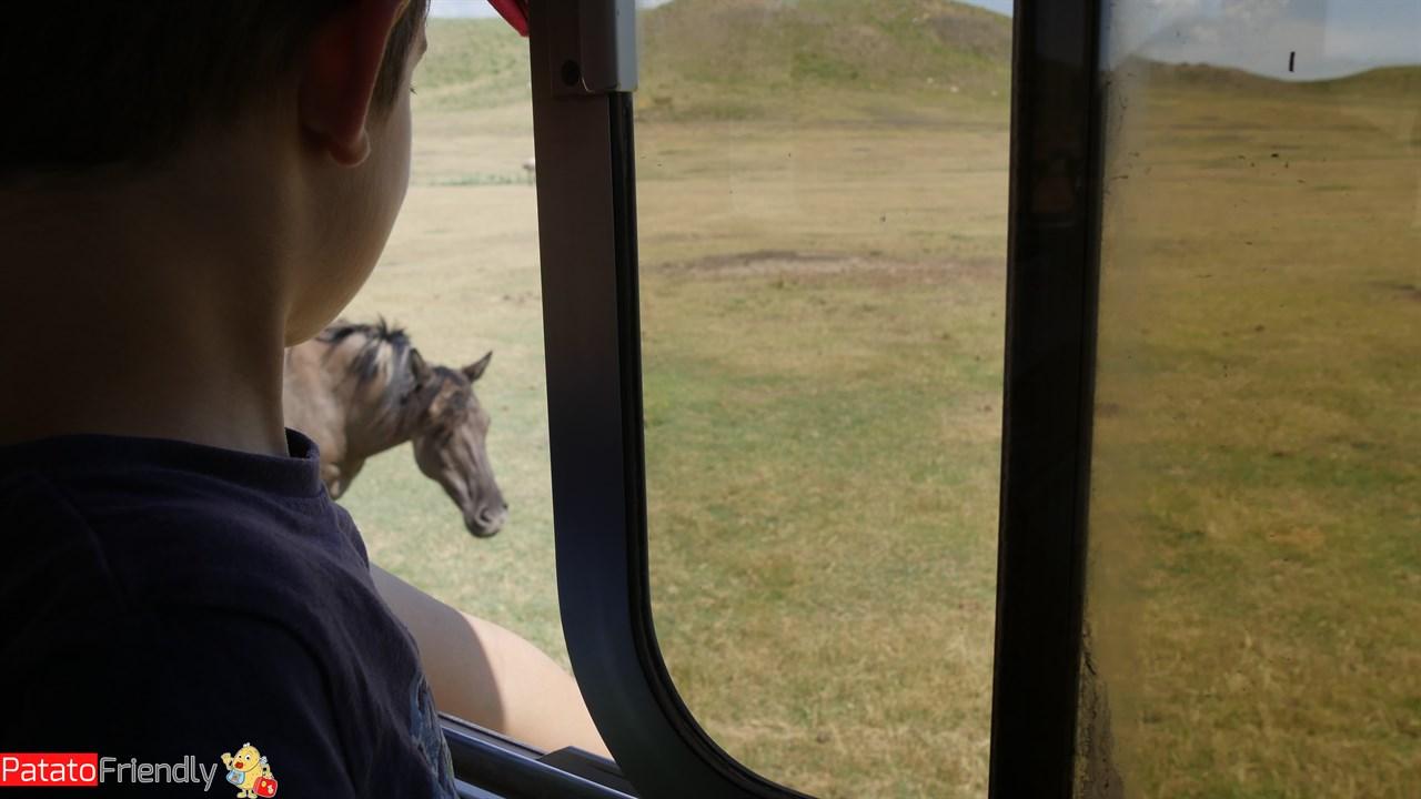 Vedere i cavalli selvaggi dal bus