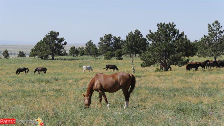 Vedere i cavalli selvaggi in South Dakota