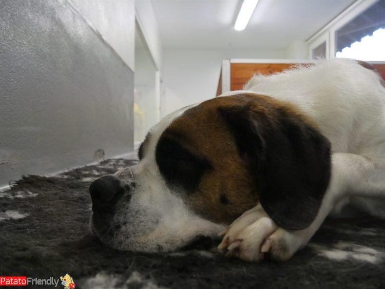 I cani del Gran San Bernardo