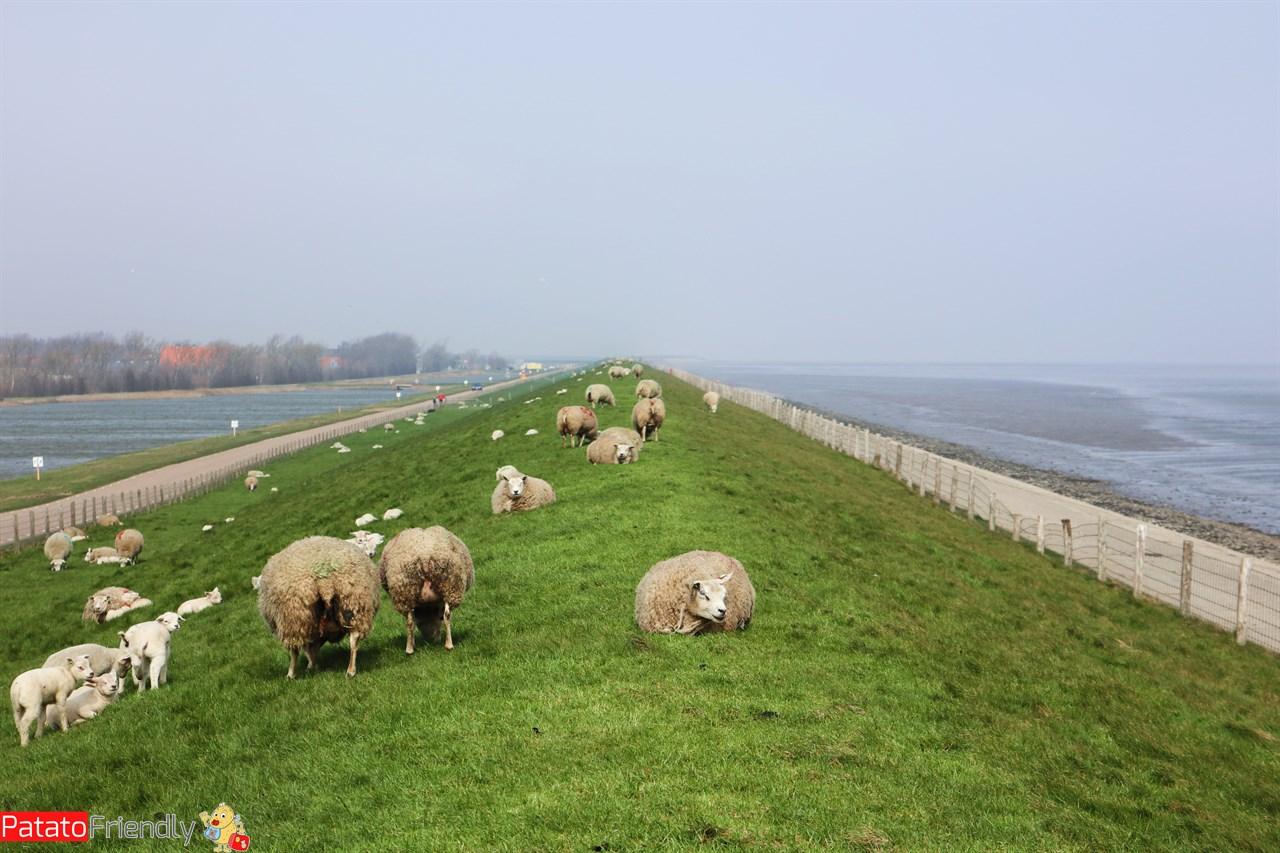 [cml_media_alt id='13969']Texel le pecore sugli argini[/cml_media_alt]