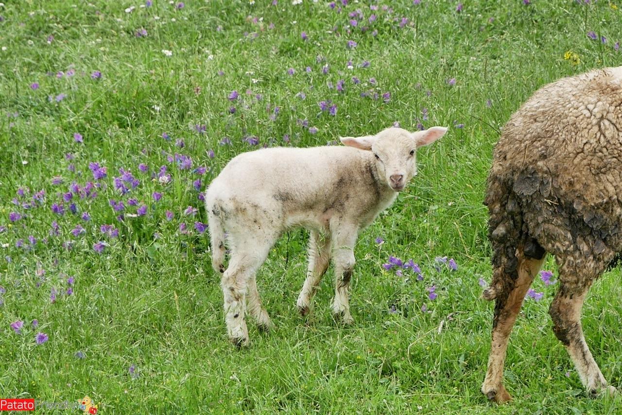 [cml_media_alt id='14498']Incontri sul Cammino di Santiago - pecore[/cml_media_alt]